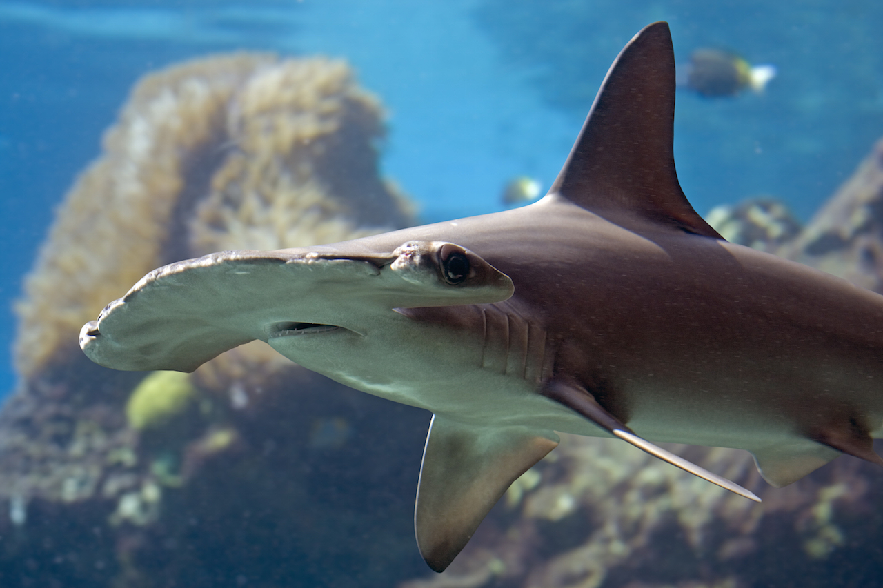 hammerhead with coral in background