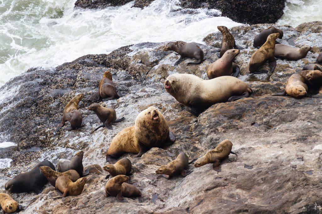 sea lions on a giant rock with water in background