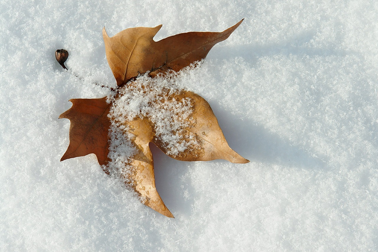 brown fall leaf on fresh snow