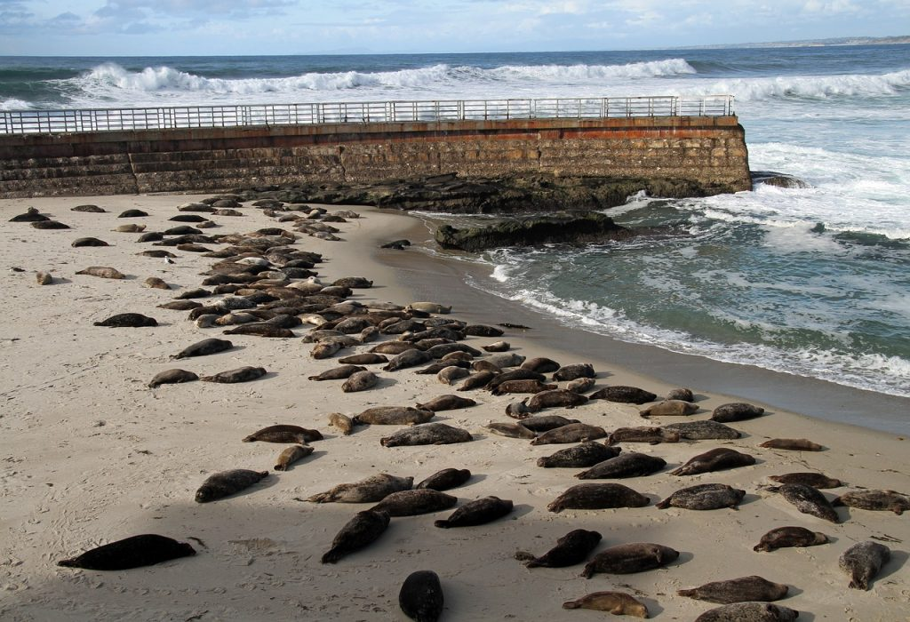 Seals laying on San Diego beach