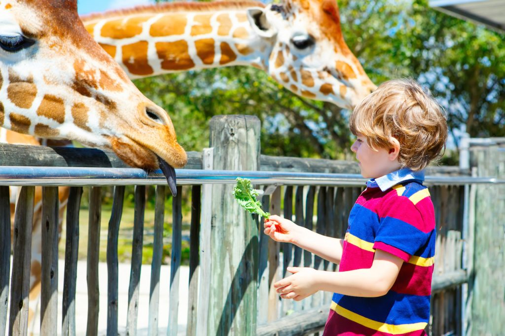 Little kid boy watching and feeding giraffe in zoo. Happy child having fun with animals safari park on warm summer day.