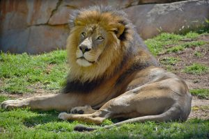 lion laying in the grass inside of a zoo