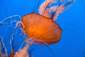 Blue ocean background with Sea Nettle jellyfish