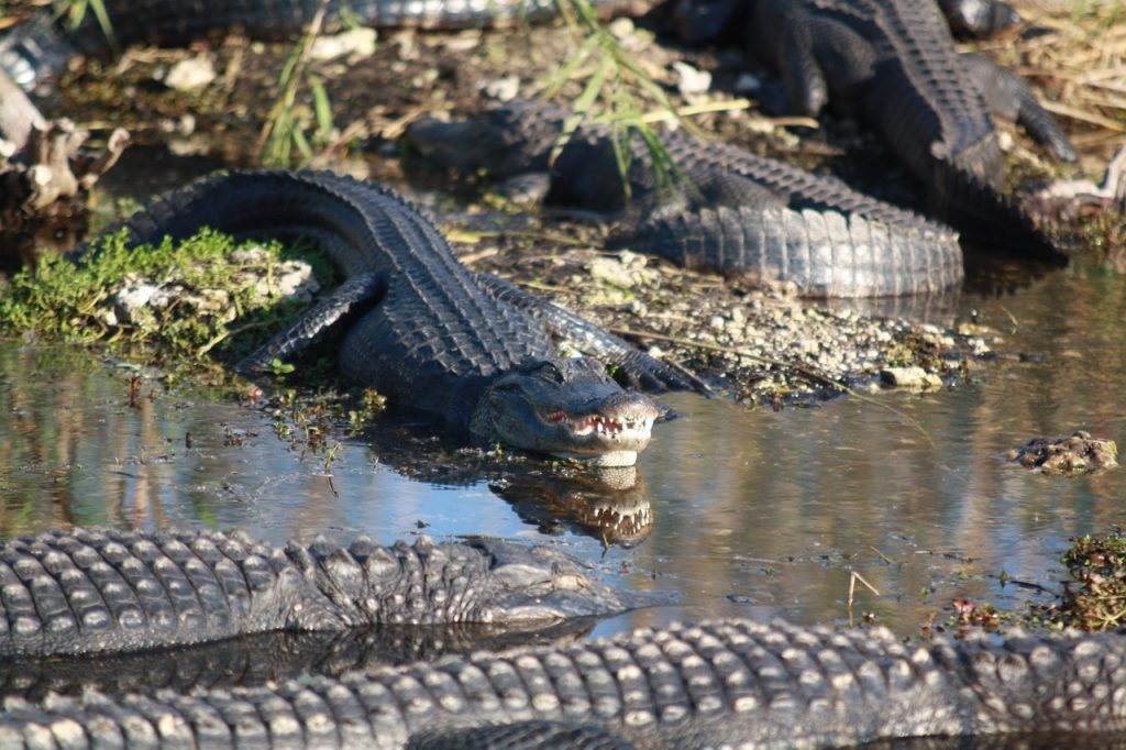 several gators sunbathing in the sun on a riverbank