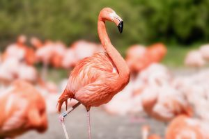 Close up of an American Flamingo in a group of a bunch of flamingos on a sunny day
