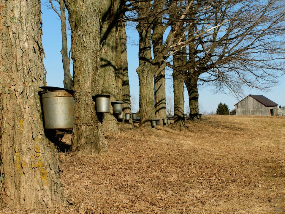 maple trees in the spring with buckets collecting sap for syrup