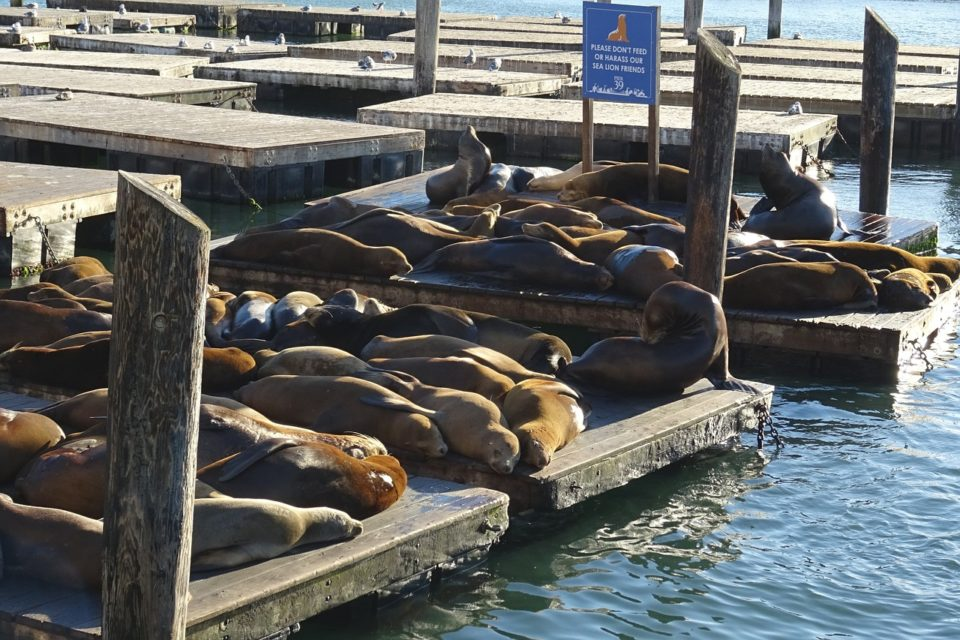 a colony of sea lions laying together on San Francisco Pier 39