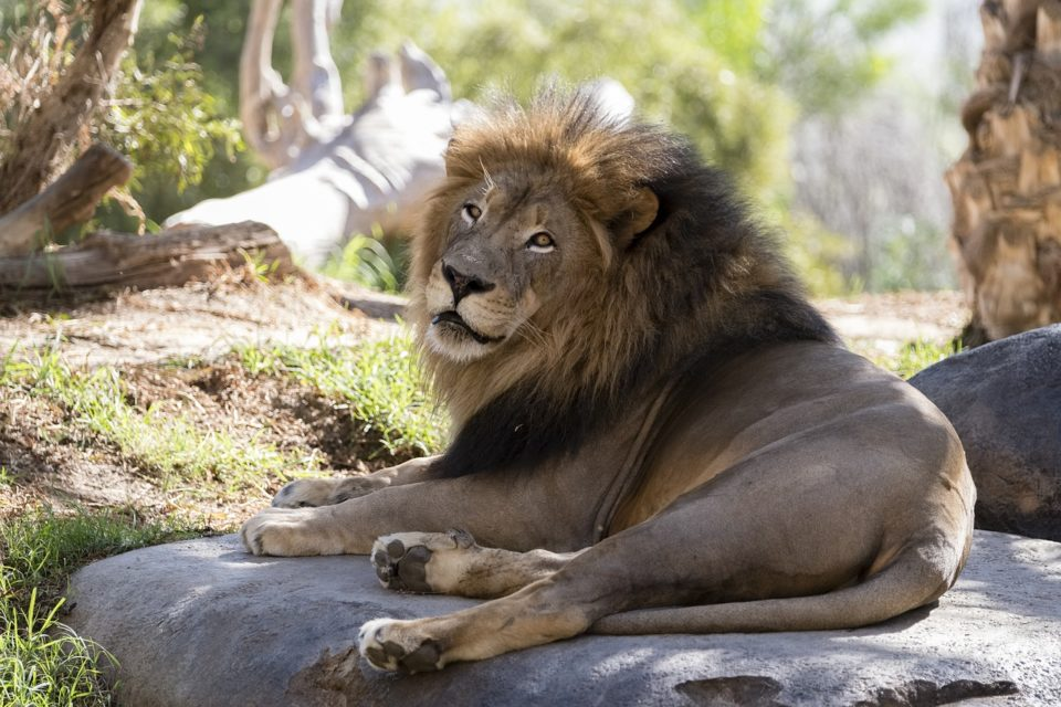 Lion inside of the San Diego Zoo