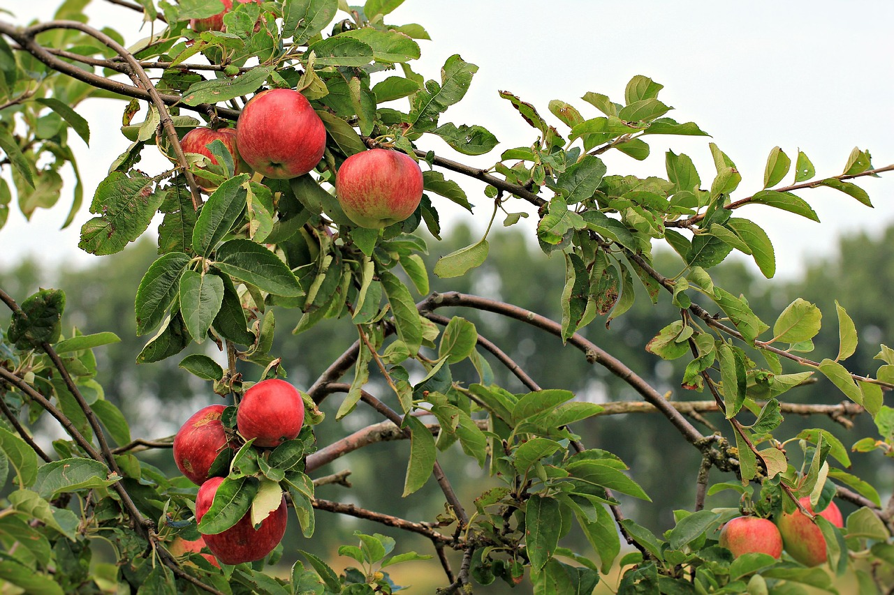 red apples on the tree in an apple orchard